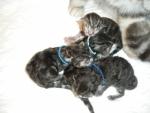 Afbeelding Kittens B nestje 018 KL.jpg
